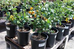 Assorted Dwarf Citrus