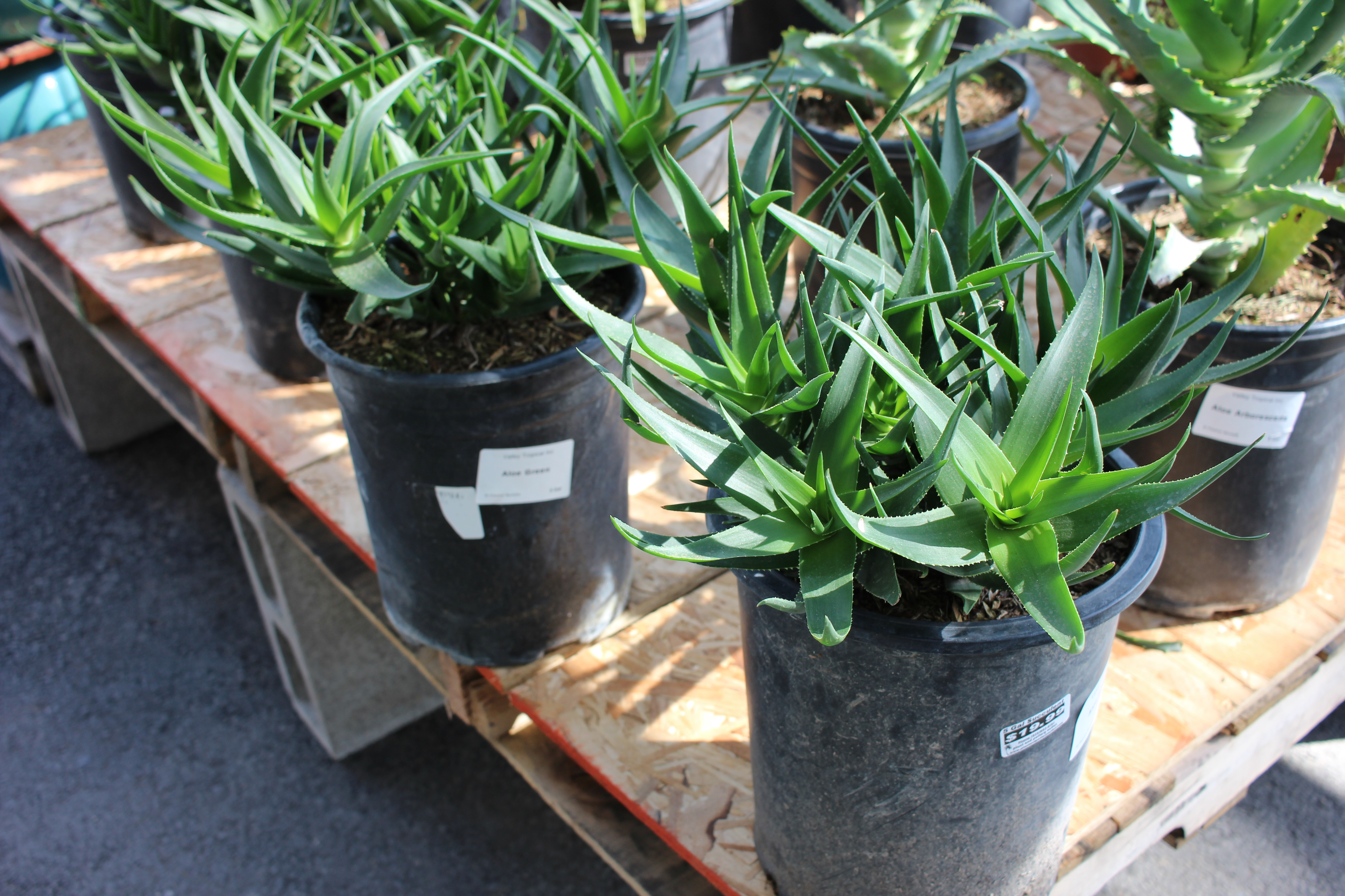 Aloe 'Green'