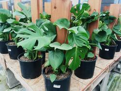 Philodendron 'Splitleaf' (Monstera Deliciosa)