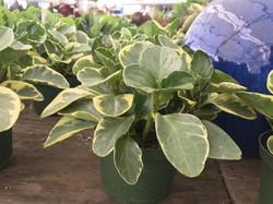 Peperomia 'Obtusifolia Variegated'