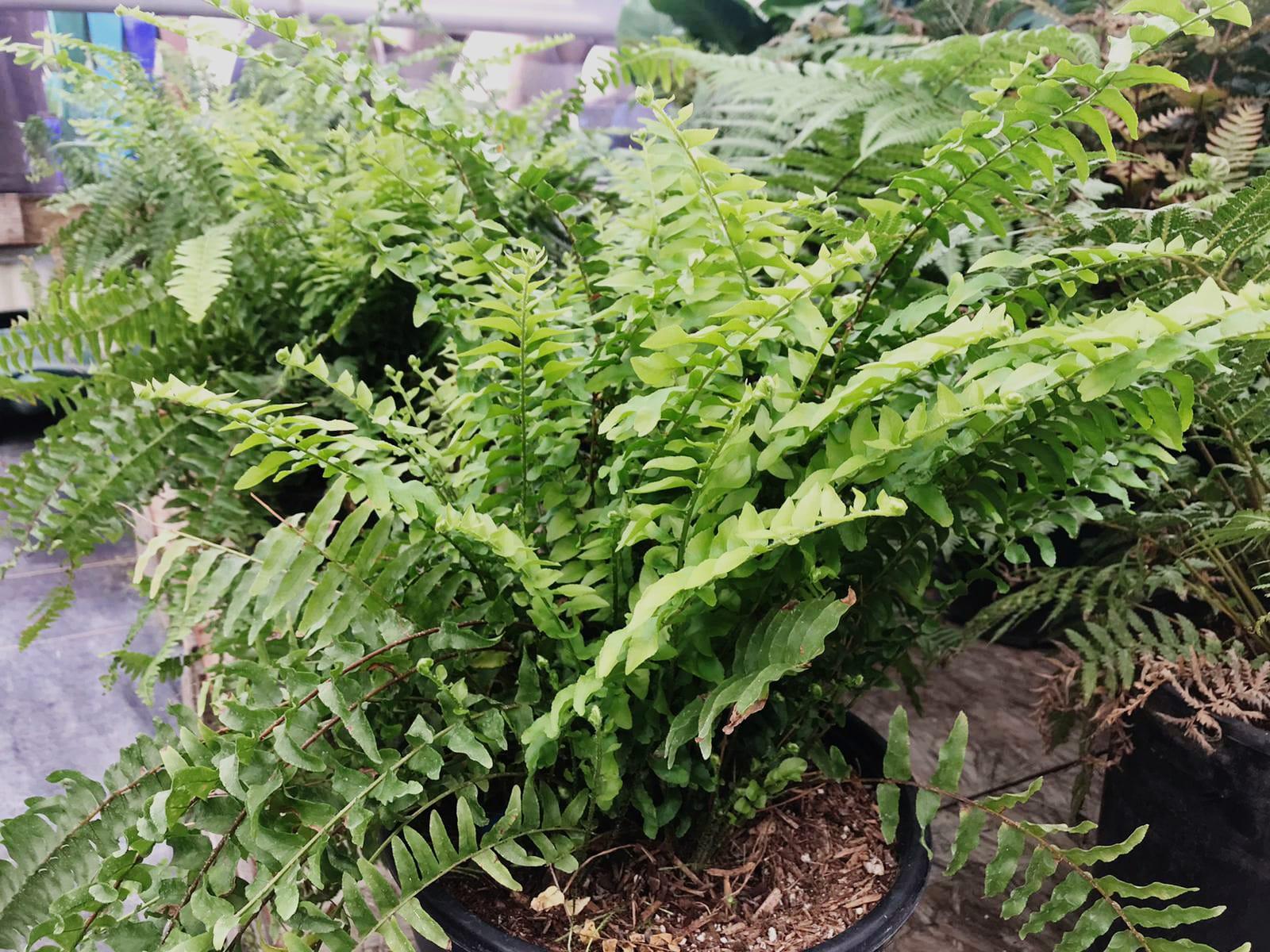 Fern 'Nephrolepsis Cordifolia'