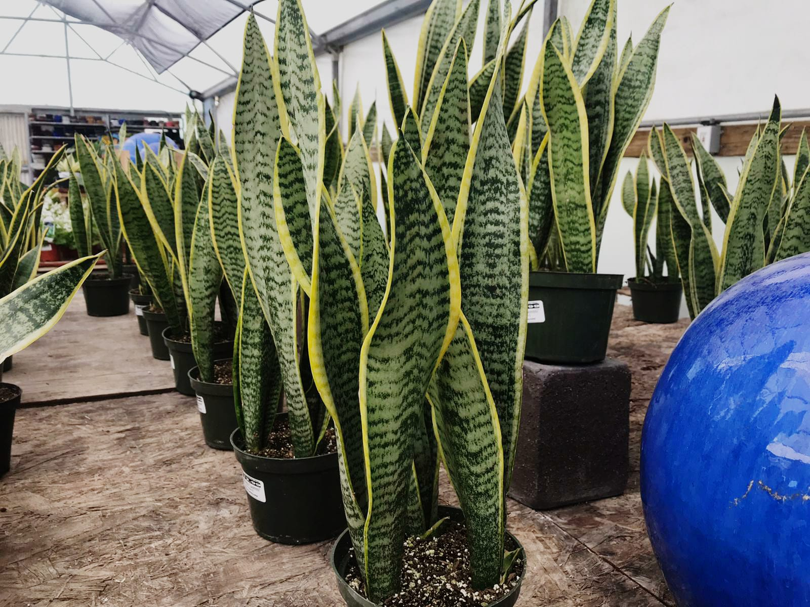 Sanseveria 'Laurentii' (Variegated)