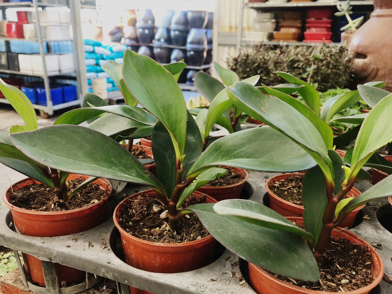 Peperomia 'Obtusifolia'