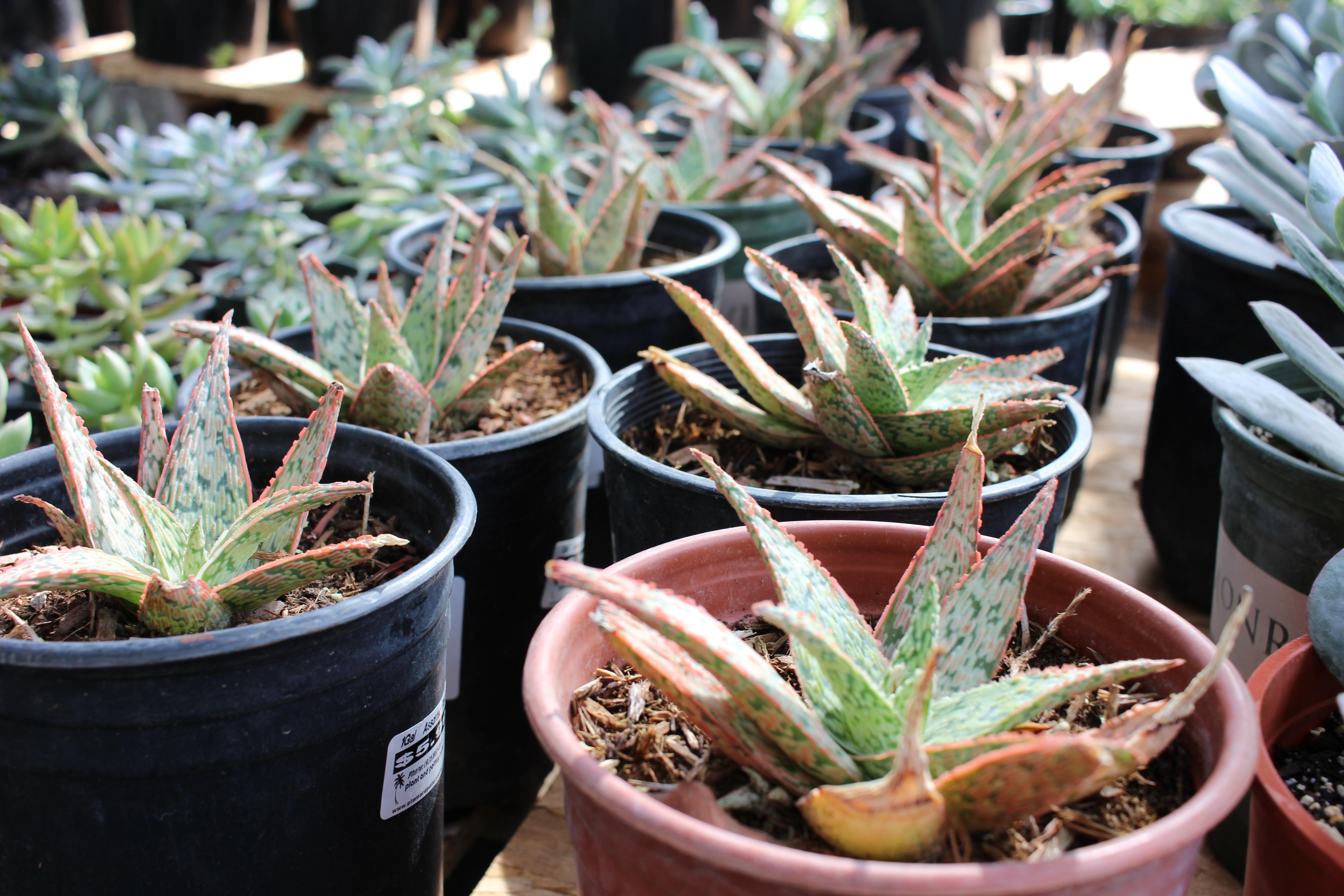 Aloe 'Vito'