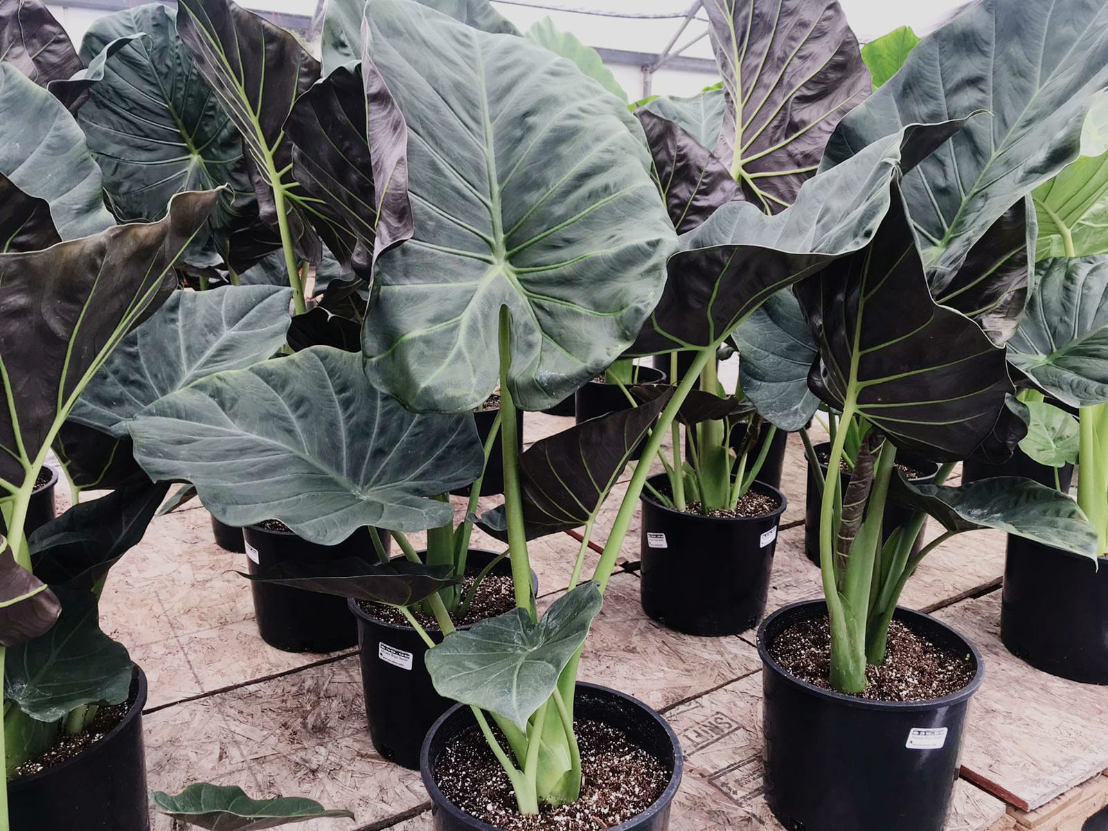 Alocasia 'Regal Shields'