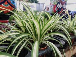 Spider Plant 'Variegated'