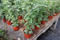 Ficus 'Benjamina' Variegated