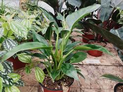 Philodendron 'Congo'