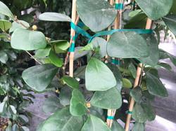 Ficus 'Triangularis'