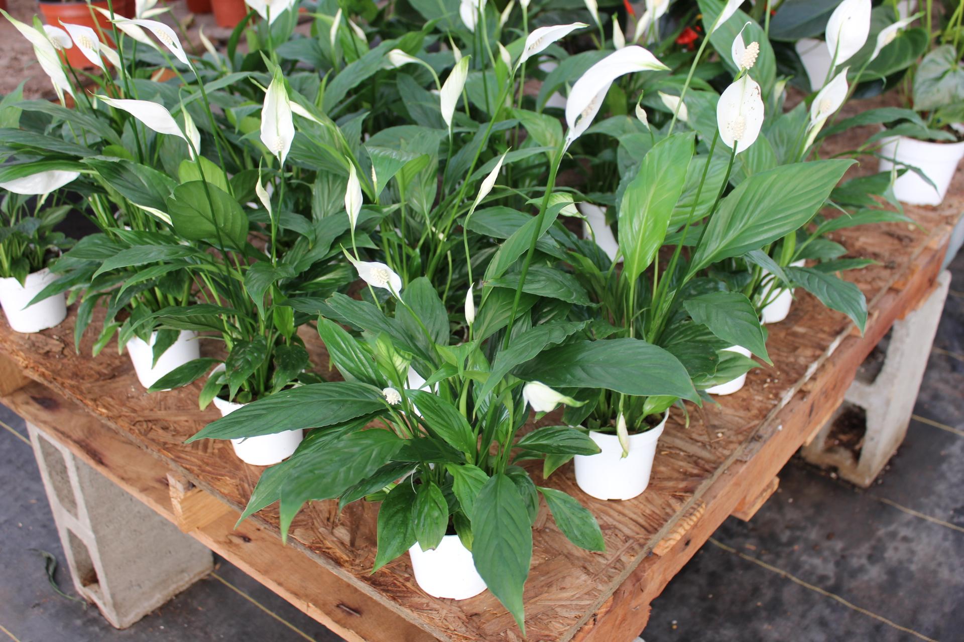 """Spathiphyllum 'Stephanie"""" (Peace Lily)"""