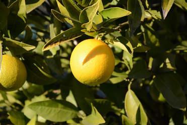 Hauseigene Limonen