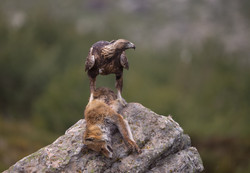 Golden eagle with fox