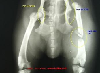 כלב עם פריקת אגן ושבר בעצם הירך