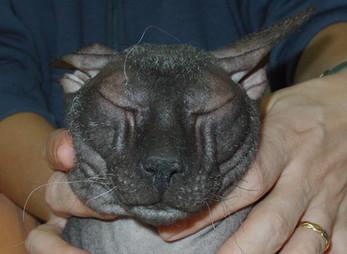 חתול ספינקס עם בעיות עפעפיים