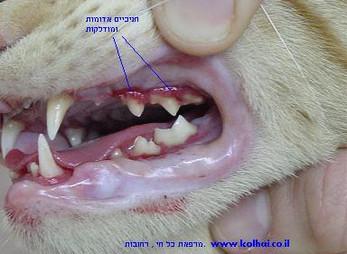 חתול עם דלקת חניכיים