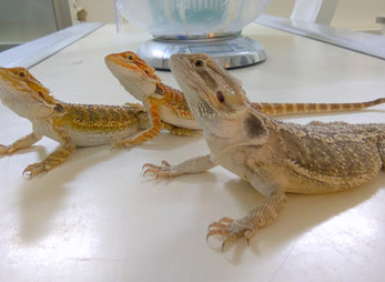 חרדון מזוקן - Bearded Dragon