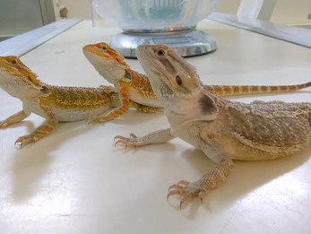 חרדון מזוקן - Bearded Dragon