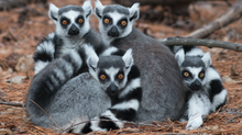Madagascar Lemurs at the Brink of Extinction
