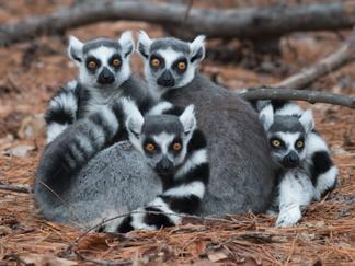 Madagascar Lemurs at the Brink of Extinction