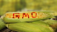 GMOs: The Pros and Cons to Us and Our Environment