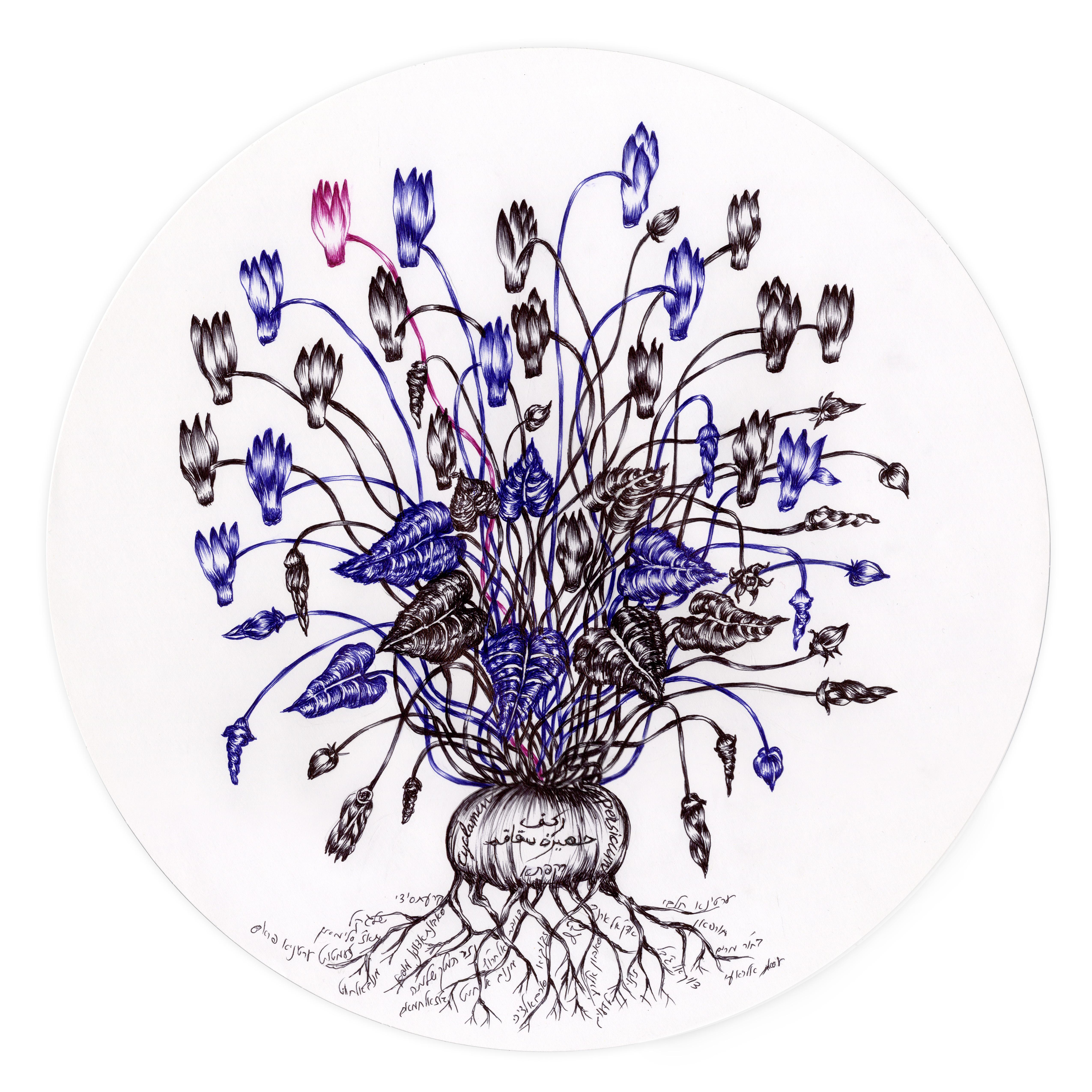 Cyclamen-Rakafta