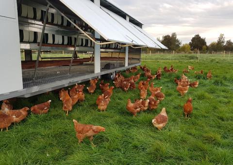 AF1000 Aussie Chicken Nesting Trailer