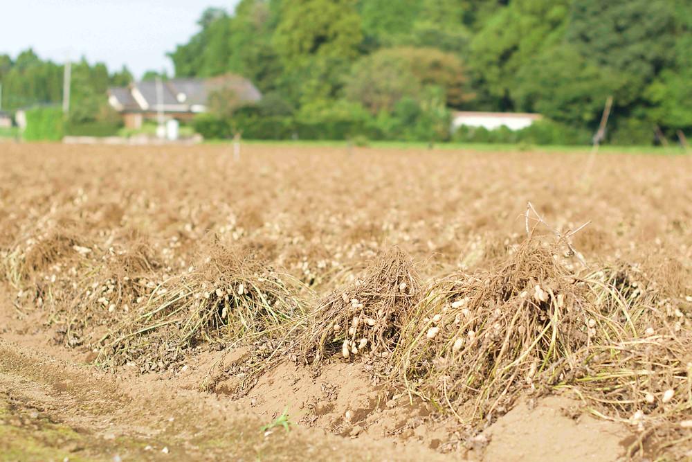 Plantation cacahuète Japon