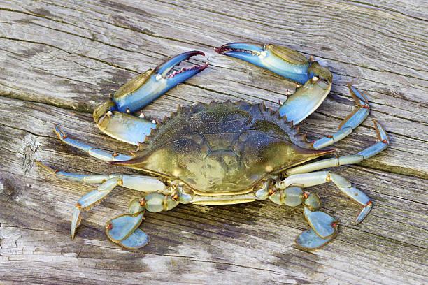 crabe bleu ariake japon