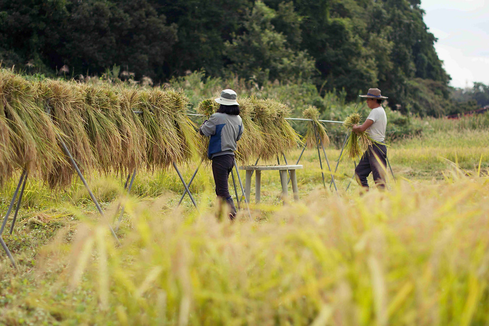 paysan rizière japon