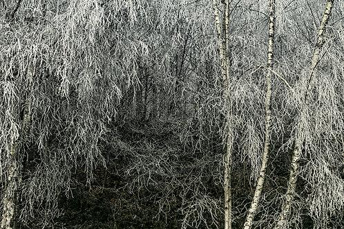 Forêt givrée bis