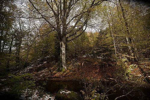 L'Hêtre aux couleurs de l'automne