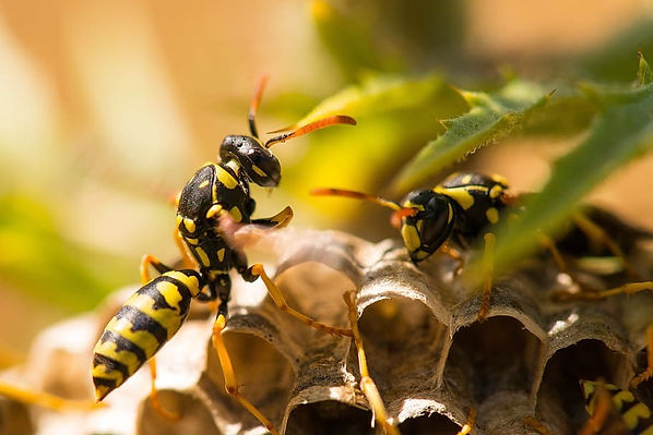 wasp-insect-nest-nature_edited.jpg
