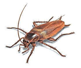 brown-cockroach-illustration_912x762.jpg