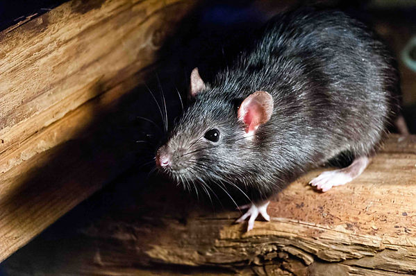 page-images-2020-09-1600458737024-rat+rodent+control+hurricane.jpg