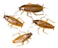 german-cockroaches_edited_edited.png
