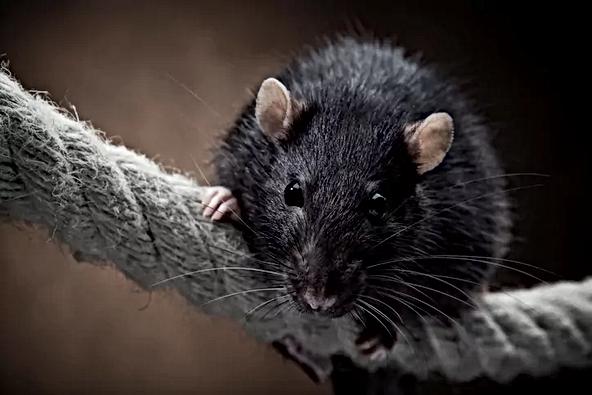 Rat-On-Rope.webp