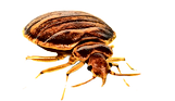50454-6-bed-bug-image-free-download-png-