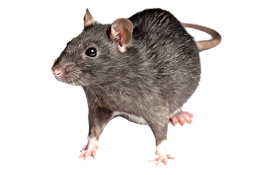 rat_6_edited.png