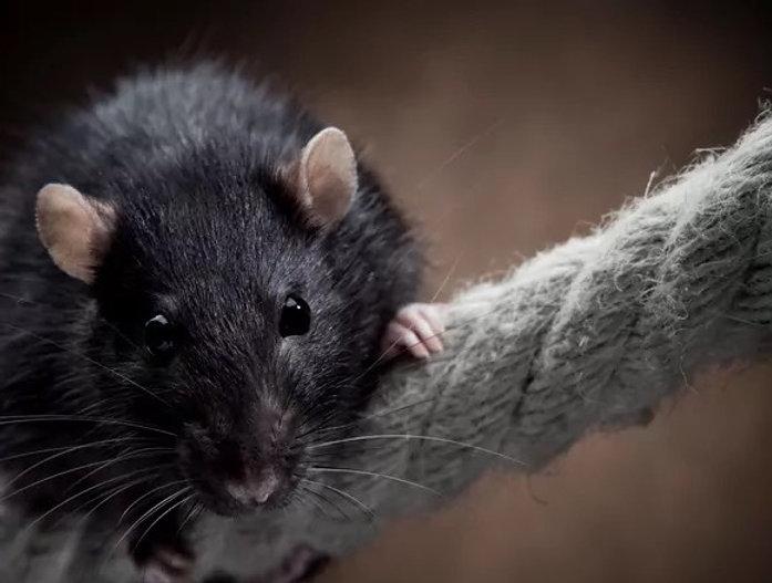 Rat-On-Rope_edited_edited_edited.jpg