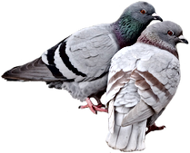 kb4bMk-pigeon-cut-out_edited.png