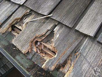 squirrel-damage-attics-roof.jpg