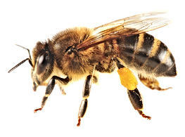 663-6631703_bees-transparent-africanized