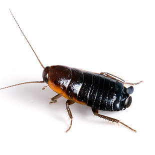 Oriential-cockroaches_edited_edited.png