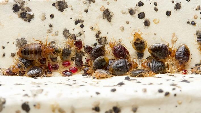 bedbugscrop.webp