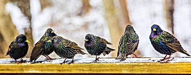 web_gbbc_8402_european_starling_rachel_w