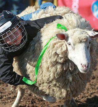 Mutton busting 3.jpg