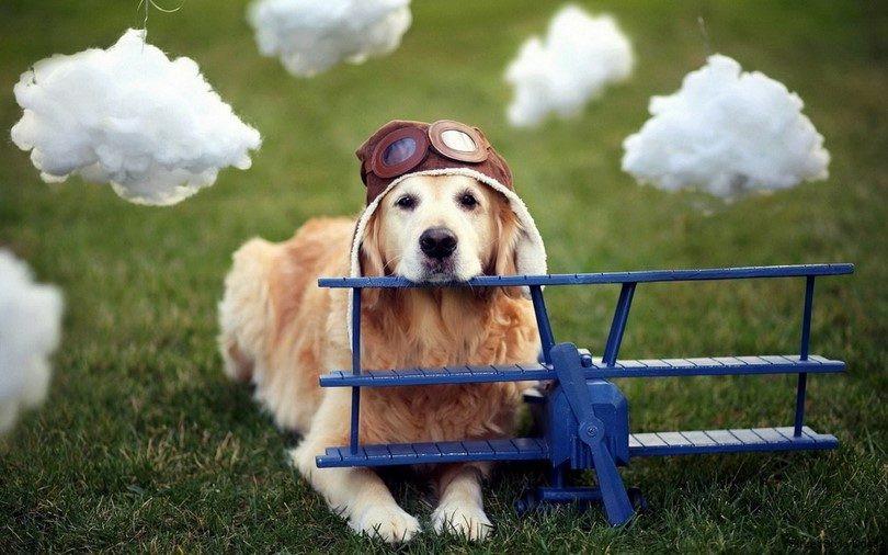 Cute Golden Retriever resting on model airplane.