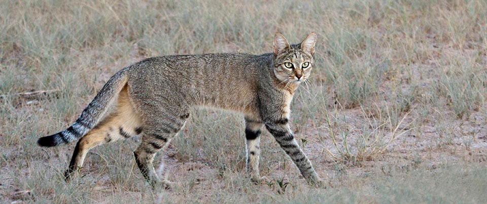 An African wildcat.