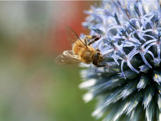 A Bee on the Endangered Species List? Yes!