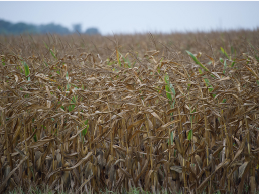 Frequently Asked Questions: Do I Have the Right to Growing Crops When the Lease Terminates?